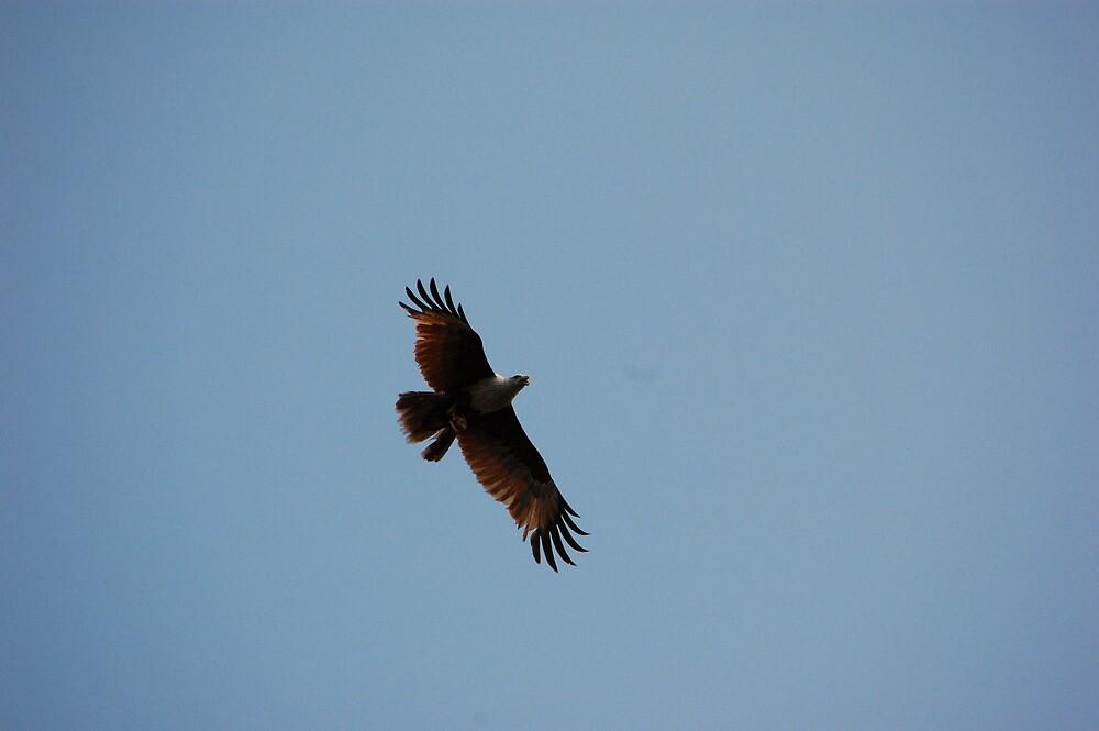 fish hawk 1 by KIARAsART