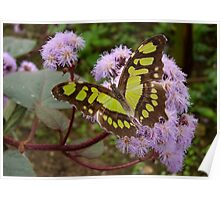 King Page Swallowtail Butterfly ( Final Stage ) Poster