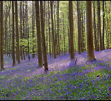 Hallerbos at his most beautiful moment by chrisdeschepper