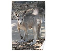 """Little Joey Wallaby - Nature Reserve Queensland"" Poster"