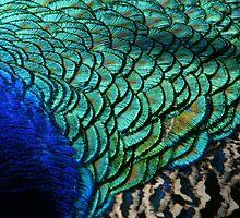 Colours of a Peacock by cherryamber