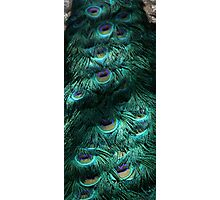 Peacock tail feathers Photographic Print