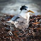 Crested Tern by wildrider58