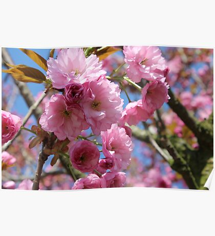 Japanese Cherry Tree Blossoms - Heralds of Spring Poster