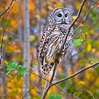 Juvenile Barred Owl in Autumn Forest by Joe Jennelle