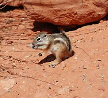An antelope ground squirrel, Valley of Fire, Las Vegas by rkdownton