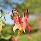 wild columbine by SusieG