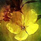 Fading Blossom by John Hare