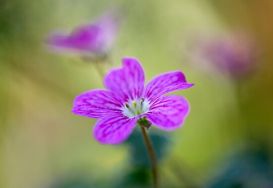 Erodium Bishops Form by Mandy Disher