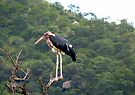 Marabou Stork by Elizabeth Kendall