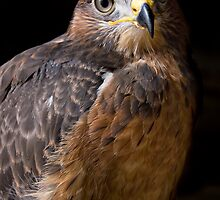 Jackal Buzzard by Rob  Southey