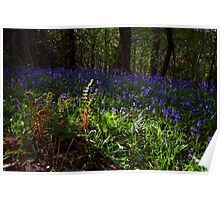 The Bluebell Woods, Cove,Devon Poster