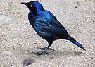 Blue starling / Blou spreeu by Elizabeth Kendall