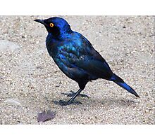 Blue starling / Blou spreeu Photographic Print