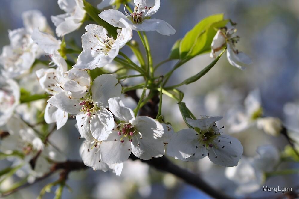 Apple Blossom by MaryLynn