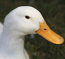 Pekin Duck by Alyce Taylor