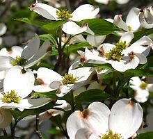 Dogwood In bloom by Nancy Richard
