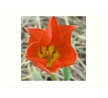 Holland (Michigan) Tulip (for John 44) Art Print