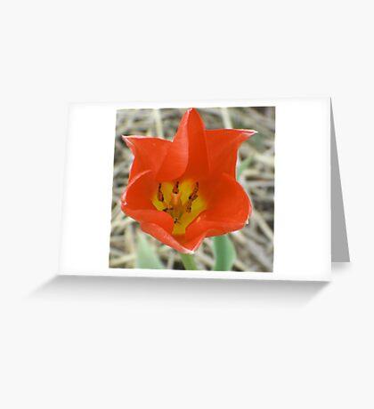Holland (Michigan) Tulip (for John 44) Greeting Card