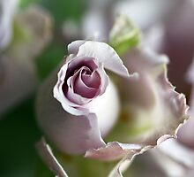 Lilac softness by Anne Kingston