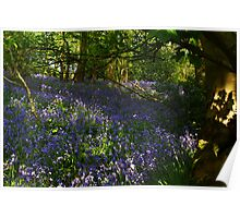 Bluebells and Beech trees Poster
