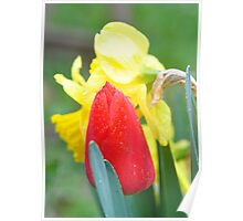 Tulip and daffodil in the rain Poster