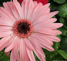 Square Framed Pink Daisy by Betty Northcutt