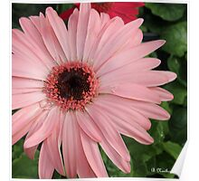 Square Framed Pink Daisy Poster