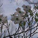 Dogwood after the Storm by Ann Allerup