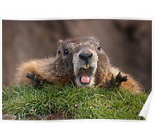 Marmot Surprise Poster