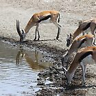 Thomson's Gazelles drinking, Serengeti, Tanzania.  by Carole-Anne