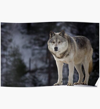 Head Wolf Poster