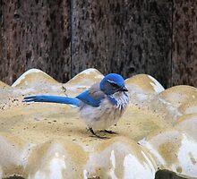 Blue Jay  by MarthaBurns