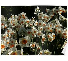 White & Orange Daffodils Poster