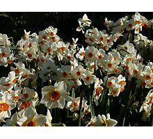 White & Orange Daffodils Photographic Print