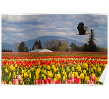 Bald Eagle crossing a Tulip Field Poster