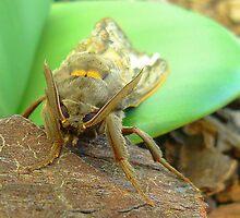 Witchetty grub moth by bobby1