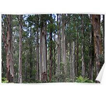Gum Trees at Kallista Poster