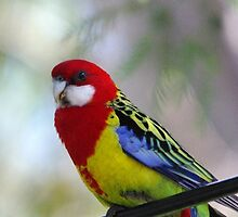 Bird on the wire - the beautiful Rosella  by imaginethis