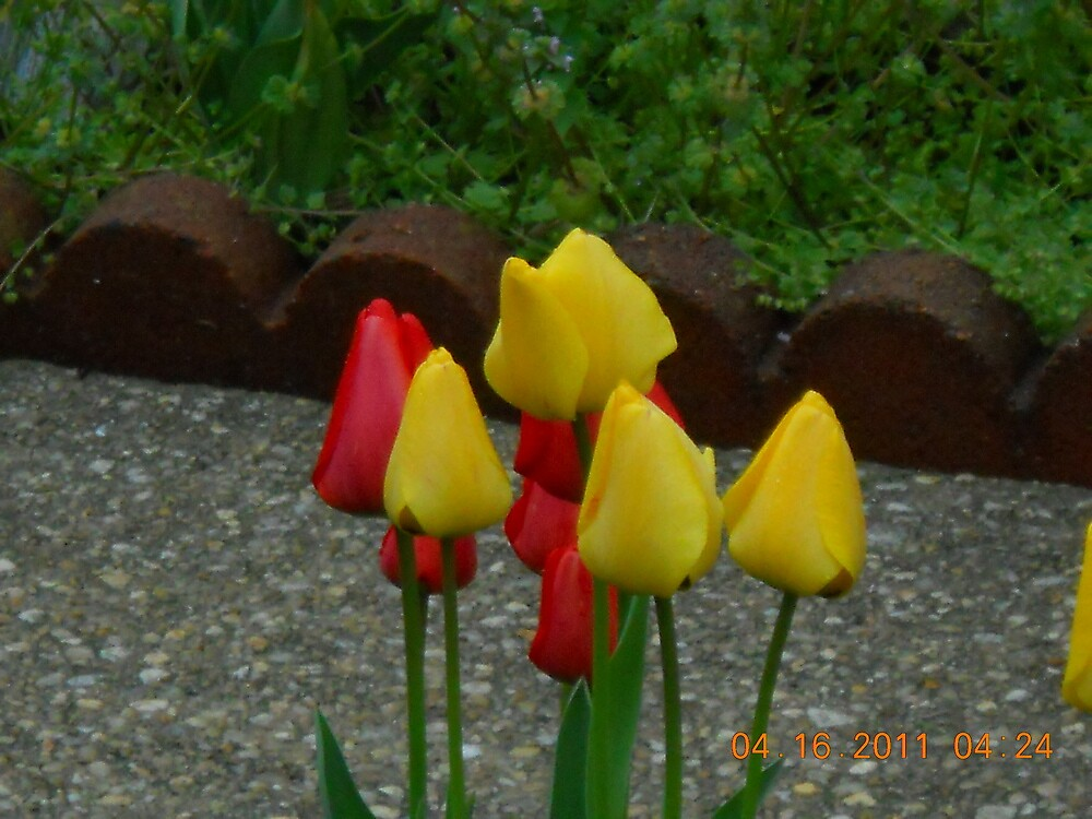 Yellow and Red Tulups by steeltrap