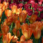 Orange and Red-Fringed Tulips by MischaC