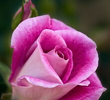 pink rose by Celeste Mookherjee