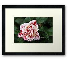 Peppermint Rose ~ Sweet and Spicy  Framed Print