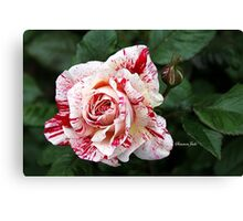 Peppermint Rose ~ Sweet and Spicy  Canvas Print