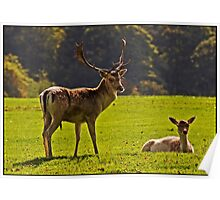 Fallow Buck and Doe Poster