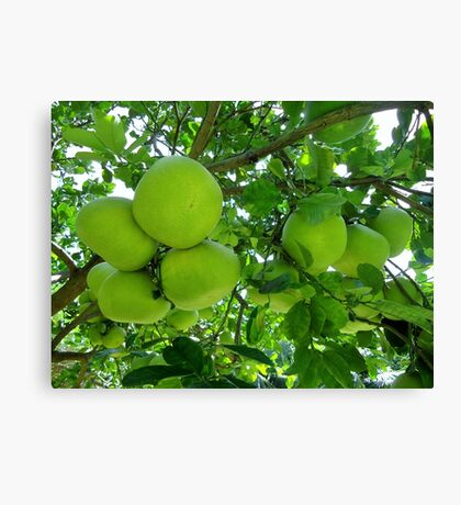 pomelo fruit tree Canvas Print