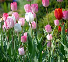 Tulips  by vbk70