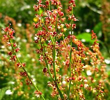 URP(Rumex Acetosa?) - Max Patch, N.C. by Glenn Cecero