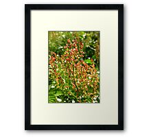 URP(Rumex Acetosa?) - Max Patch, N.C. Framed Print