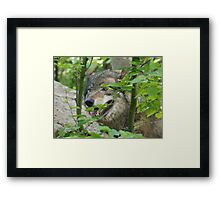Canis Lupus from an ambush Framed Print